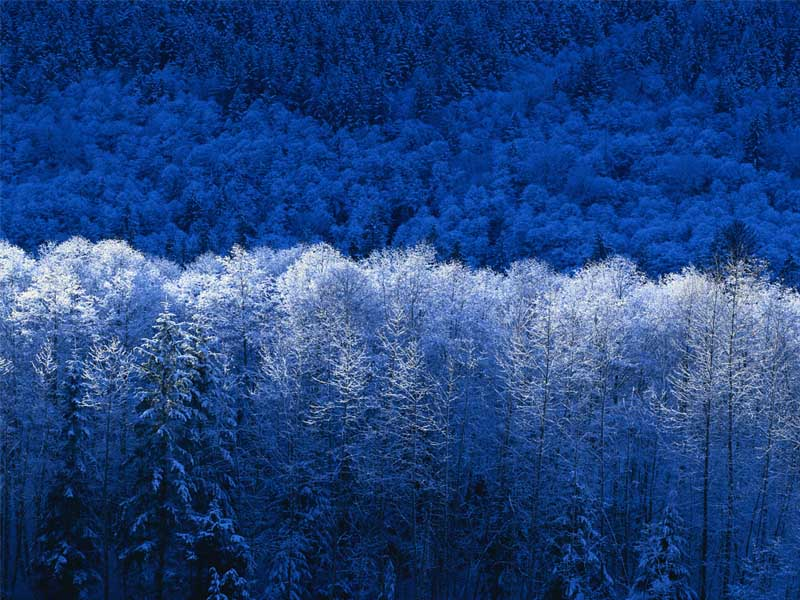 stock image WordPress for header, blue trees with frost