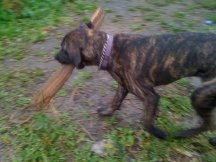 Zeldy feels better, grabbing little sticks, Cane Corso