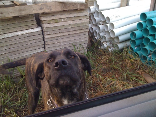 curious dog looking into vehicle window, pic from inside