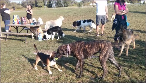cane corso cross playing tug with a little beagle in dog park